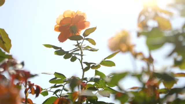 Roses-in-the-garden-in-4k