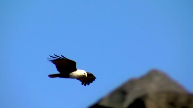 Eagle-Soars-low-over-rocks-Brahminy-Kite-Bald-Sea-Hawk