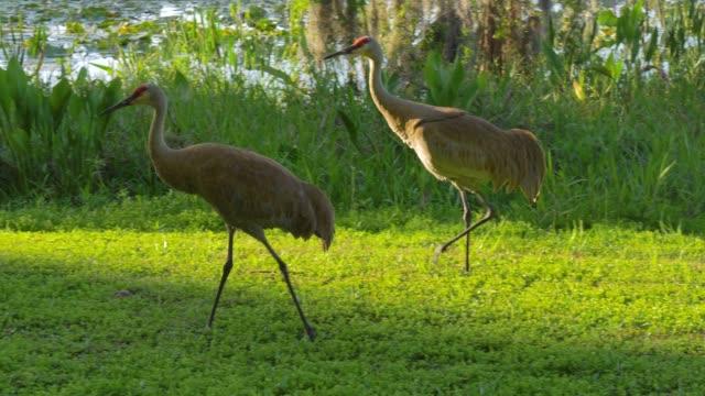 Familia-de-grullas-alimentan-cerca-lago