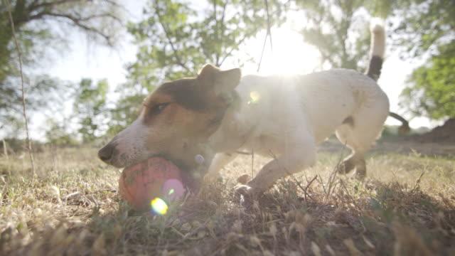 Jack-russell-terrier-agarra-el-juguete-de-la-bola-naranja-de-dientes