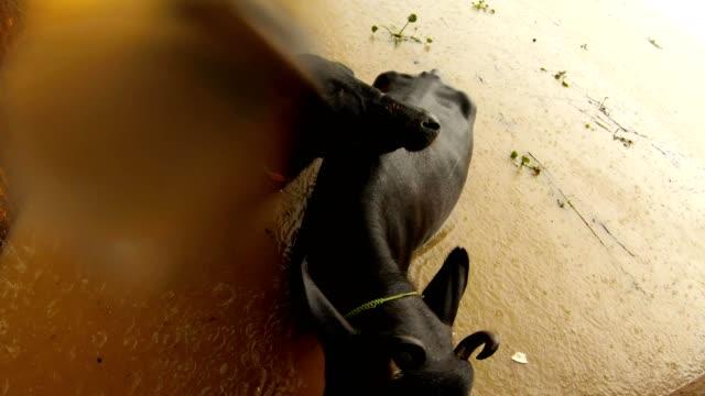 Búfalos-en-el-agua-bajo-la-lluvia-cerca-en-el-río-ganga-inundado-Manikarnika-quema-Ghat-Varanasi-vista-superior
