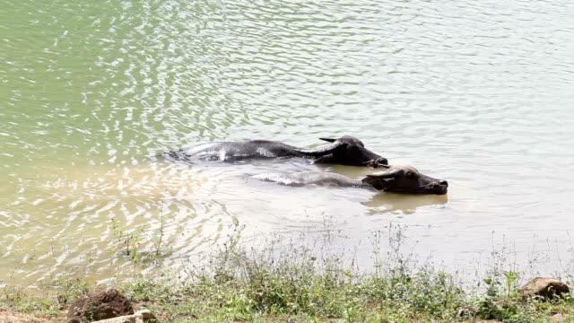 Búfalo-indio-en-el-Ganges
