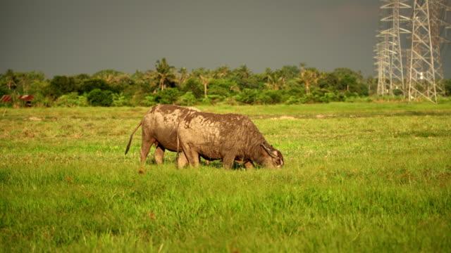 asia-buffalo-eat-grass-in-green-field