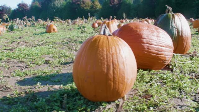 Three-Big-Pumpkins-Growing-in-Field