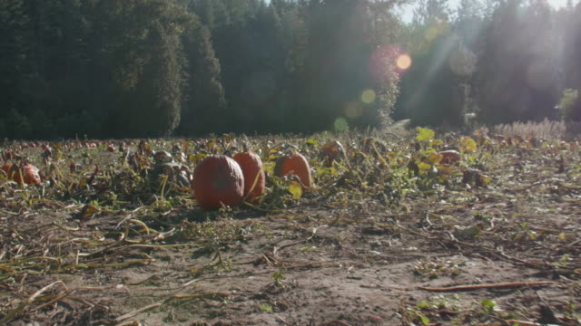 Walking-Through-Pumpkin-Patch-Searching-POV