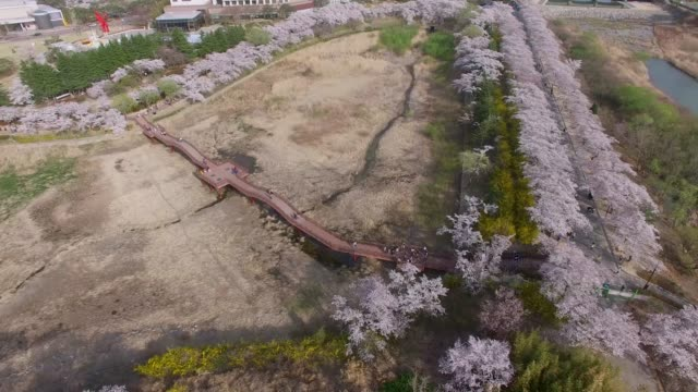 Cherry-Blossom-Spring-of-Bomun-Park-Gyeongju-South-Korea-Asia