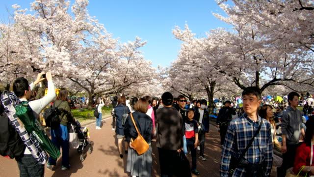 Sea-of-blooming-cherry-blossom-sakura-in-Expo-70-Commemorative-Park-