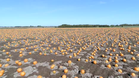 Pumpkin-Patch-on-a-Farm-Ready-for-Harvest-Aerial-Flyover