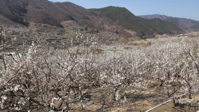 Japanese-apricot-flower-garden-time-lapse-in-country-outdoor