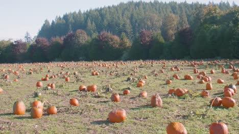 Huge-Patch-of-Pumpkins