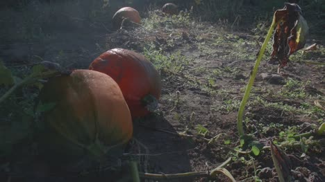 Pumpkins-on-a-Farm-in-the-Sun-and-Shade