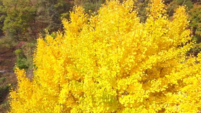 Luftbild-Ginkgo-Biloba-im-Herbst-von-Südkorea