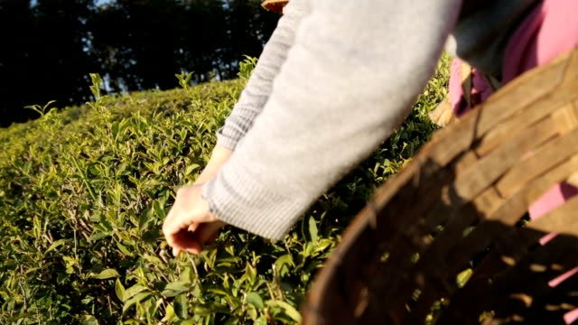 Experienced-man-following-technology-of-drying-tea-leaves-traditional-production