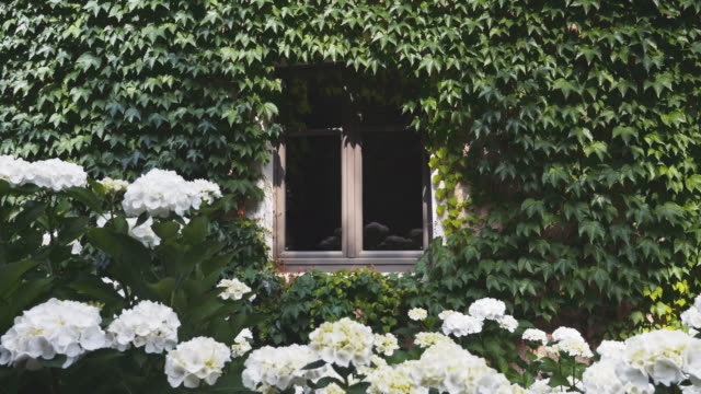 House-Window-Surrounded-by-Clinging-Vine-and-Pretty-White-Flowers-Below