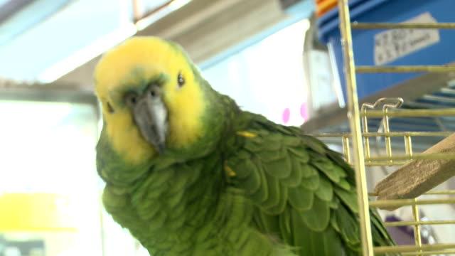 Verde-loro-aves-en-una-tienda---003