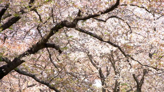 Beautiful-Sakura-cherry-blossoms-spring