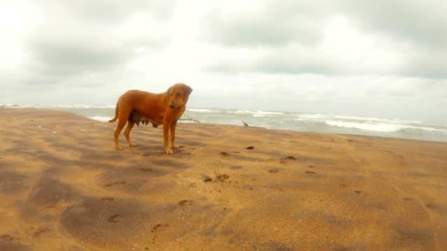 Perro-jengibre-hembra-en-arena-Océano-Índico-fondo-nublado-día