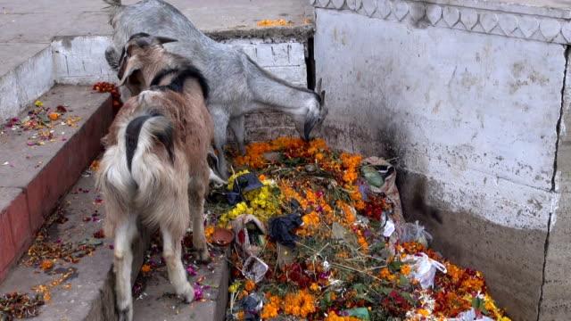 Cabras-lactancia-en-basura-por-el-río-Ganges-en-varanasí-India