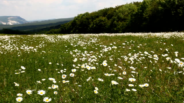 field-camomiles-mountains
