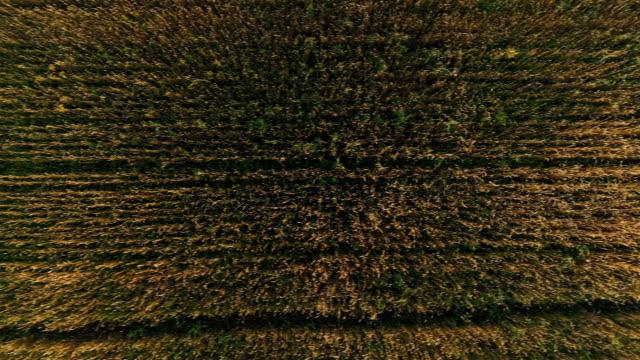 Encuesta-aérea-del-trigo-campo-dorado-al-atardecer