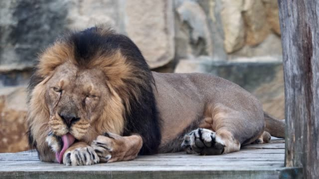 Asiatic-lion-(Panthera-leo-persica)-A-critically-endangered-species-
