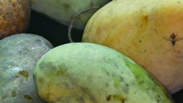 fruit-fly-moving-on-the-mango
