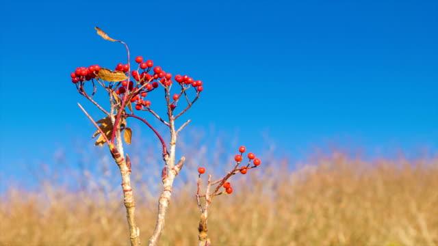 Bayas-rojas-primer-plano-con-cielo-azul-en-la-cadena-montañosa-Smoky-Mountains