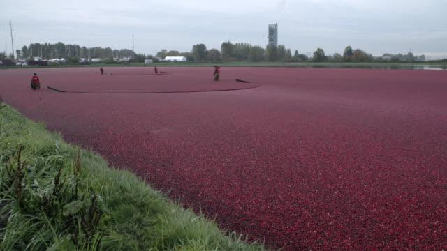 Cranberries-Floated-for-Harvest