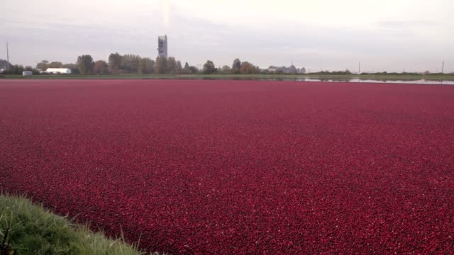 Floating-Cranberries-Ready-for-Harvest-4K-UHD