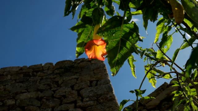 flor-de-la-trompeta-del-ángel-naranja-iluminada-por-el-sol-en-machu-picchu