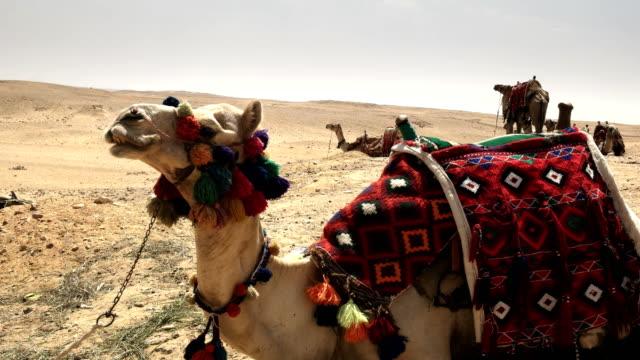 """Nahaufnahme-von-Kamelen-bei-den-Pyramiden-in-Gizeh-Ã""""gypten"""