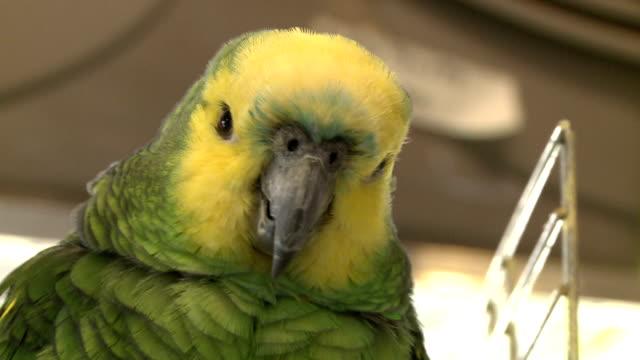 Verde-loro-aves-en-una-tienda---001