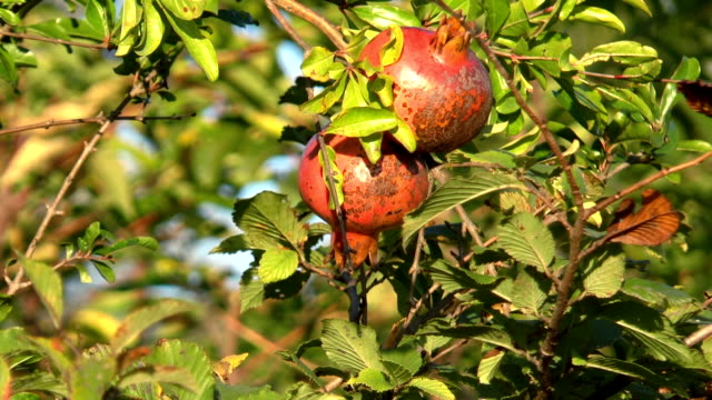 Frutas-Granada-creciendo-en-el-jardín