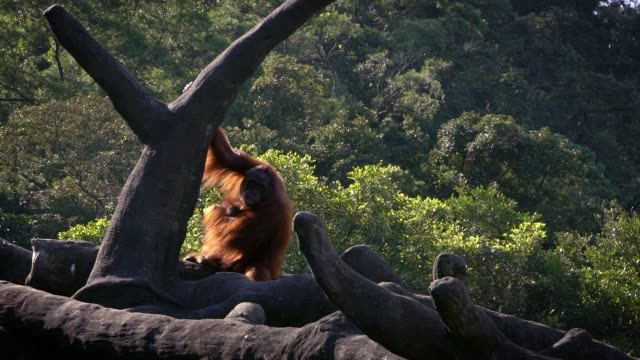 Slow-Motion-of-mother-and-baby-bornean-orangutan-on-trees-of-the-forest