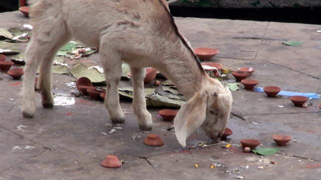 Cabra-y-embarcaciones-en-el-río-Ganges-sagrado-en-varanasí