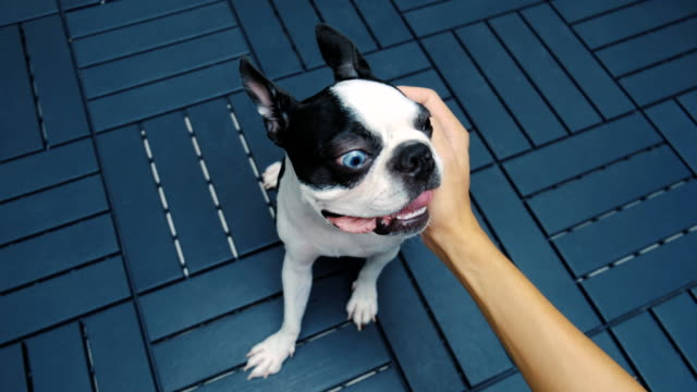 Boston-Terrier-Dog-Portrait-Caressed-by-person-Close-up-of-Hand-Love-and-Smile-feeling-Background