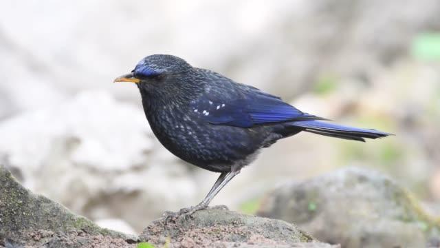 Azul-silbar-zorzal