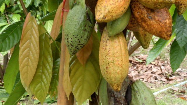 The-cocoa-tree-with-fruits-Yellow-and-green-Cocoa-pods-grow-on-the-tree-cacao-plantation-in-village-Nan-Thailand-