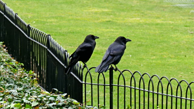 The-black-fence-of-the-tower-with-two-ravens