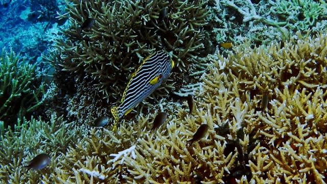 Close-up-of-Sweetlip-emperor-fish-above-hard-coral-field-on-reef-edge-Kri-island-Raja-Ampat-Indonesia