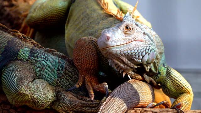 Iguana-en-otra-iguana-sentado-en-el-árbol-de-cerca