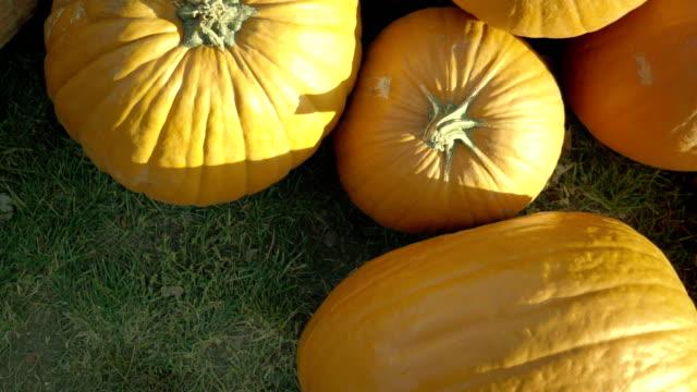 Pumpkin-harvesting-Halloween-pumpkins-Autumn-rural-rustic-background-with-vegetable-marrow-