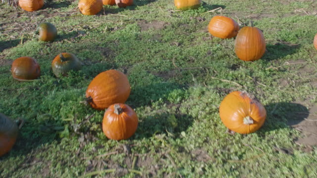 Flyover-Shot-of-Various-Ripe-Pumpkins-in-Patch