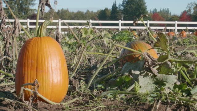 Pumpkins-Growing-on-Farm-White-Fence-Background