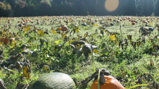 Green-and-Orange-Pumpkins-in-Patch-Gimbal-Shot-Early-Morning-Light-Flare