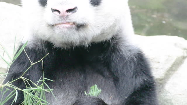 Panda-enjoy-eating-bamboo-leaves-on-pool-side