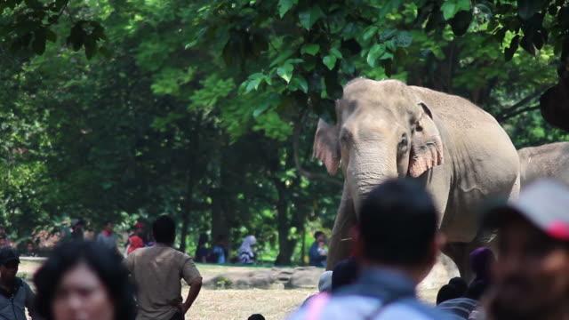 The-Sumatera-Elephant-at-the-Ragunan-Zoo-Jakarta