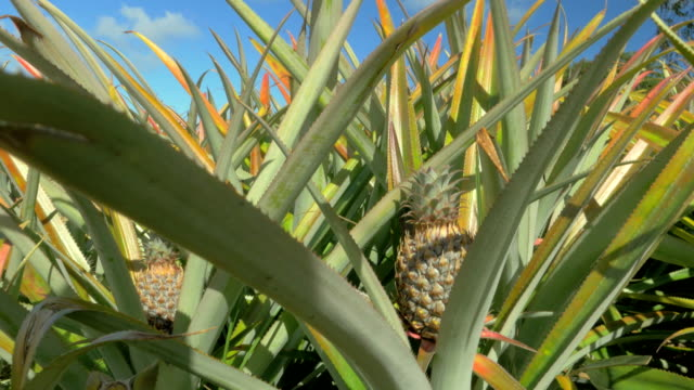 View-of-pineapple-plants-farm-in-summer-season-against-blue-sky-Mauritius-Island