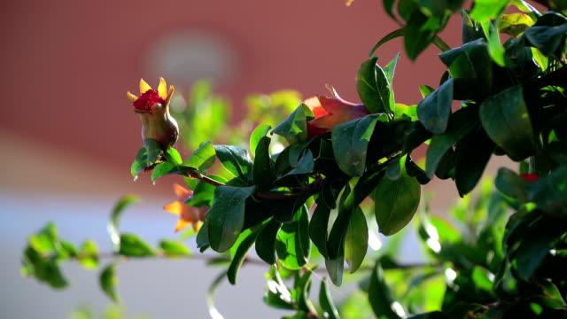 Granada-árbol-frutal-
