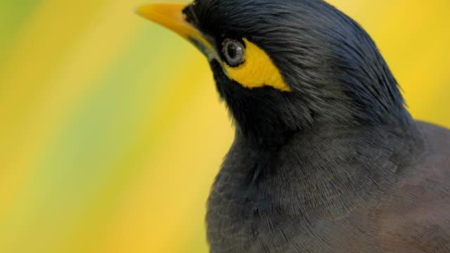 Black-and-yellow-mynah-bird